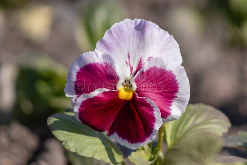 Fiore bianco e di porpora della fine della viola della pansé sulla crescita in un letto di fiore fotografia stock
