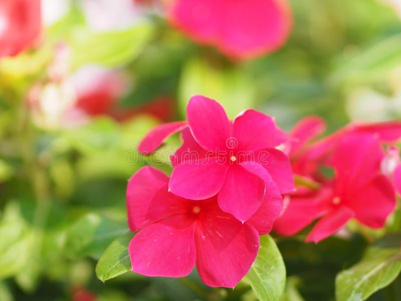 Fiore bianco e di rosa sul roseus del crescione Madagasca o di Rose Periwinkle Catharanthus del fondo della sfuocatura bello nel  fotografia stock libera da diritti