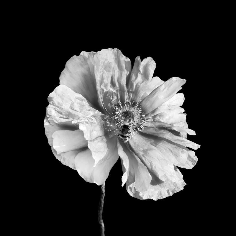 Fiore in bianco e nero del papavero e un'ape immagine stock libera da diritti