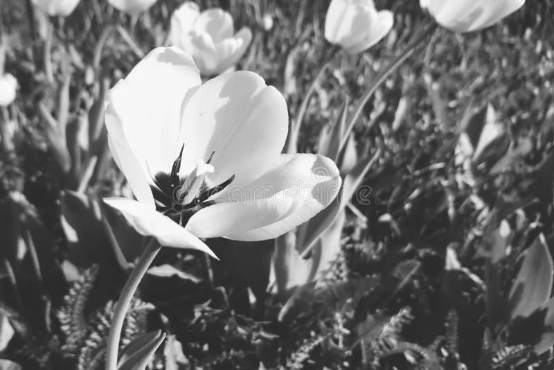 Fiore in bianco e nero della molla fotografia stock libera da diritti