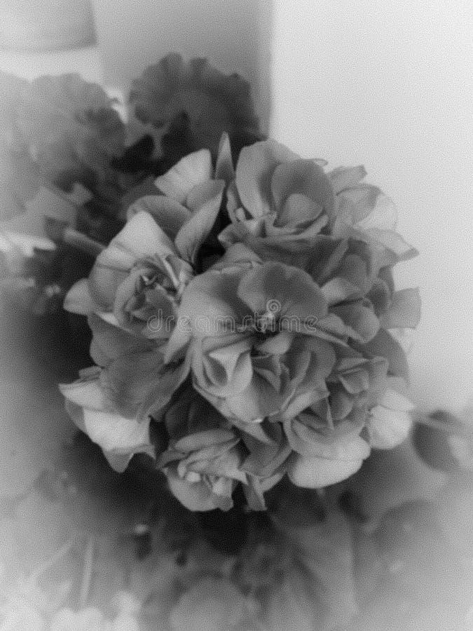 Fiore, in bianco e nero, grigio fotografia stock