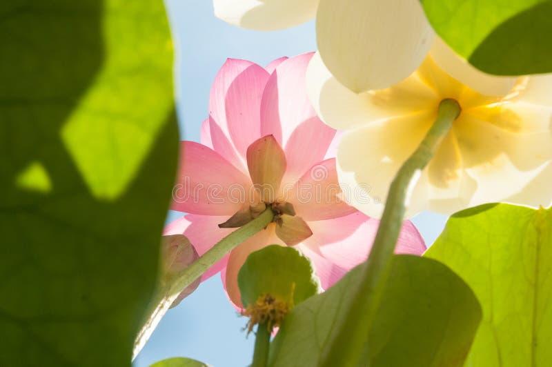 Fiore bianco e rosa del primo piano del nelumbo nucifera del loto fotografia stock