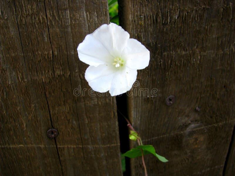Fiore bianco fra le plance nel recinto fotografia stock