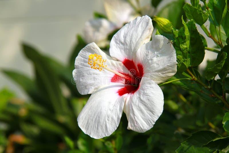 Fiore bianco fresco con la foglia verde su sfondo naturale immagini stock