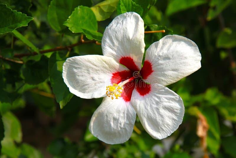 Fiore bianco fresco con la foglia verde su sfondo naturale fotografia stock