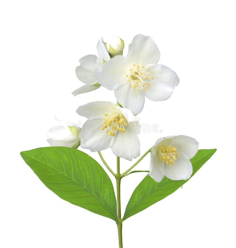Fiore bianco (gelsomino) isolato su bianco fotografia stock libera da diritti
