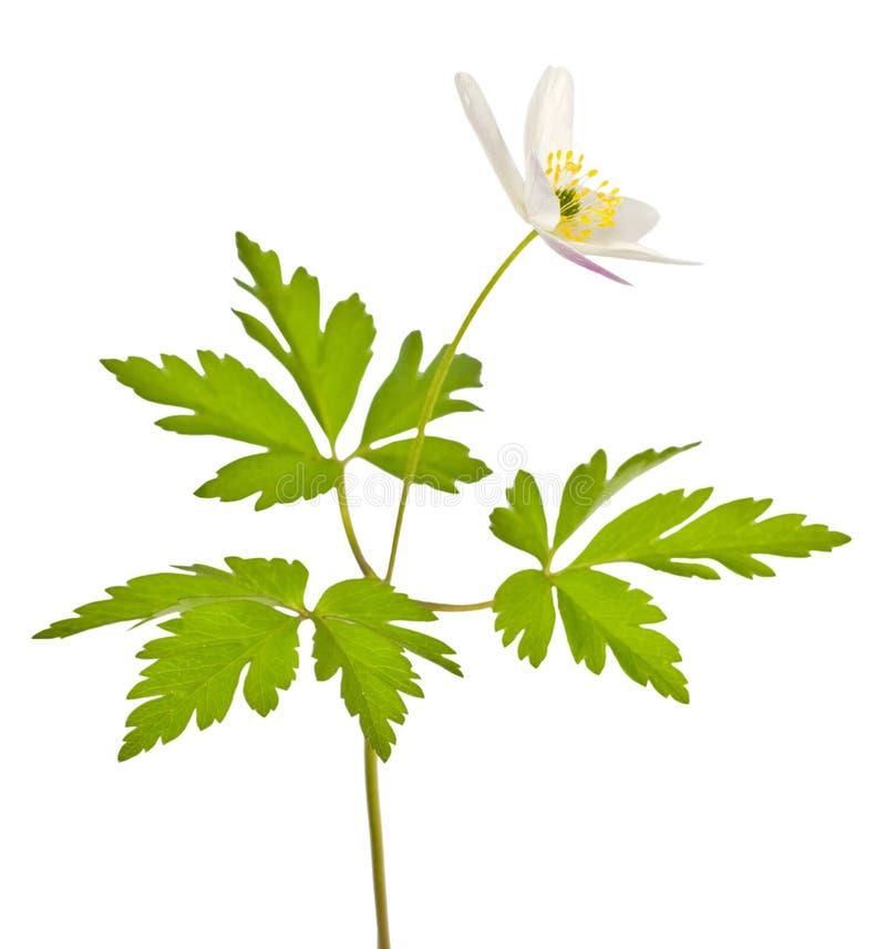 Fiore bianco isolato di animone immagini stock