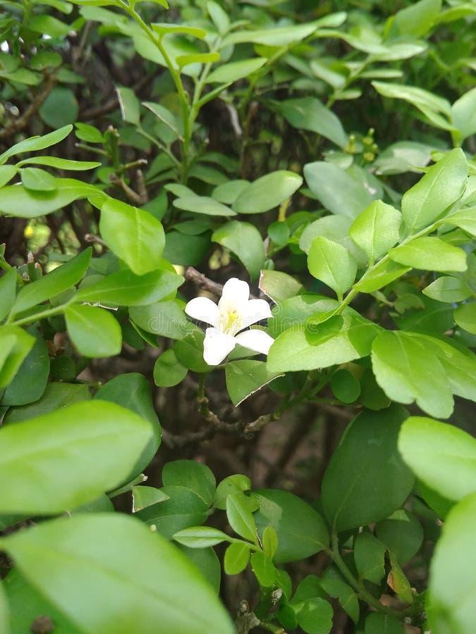fiore bianco nell'albero fotografia stock libera da diritti
