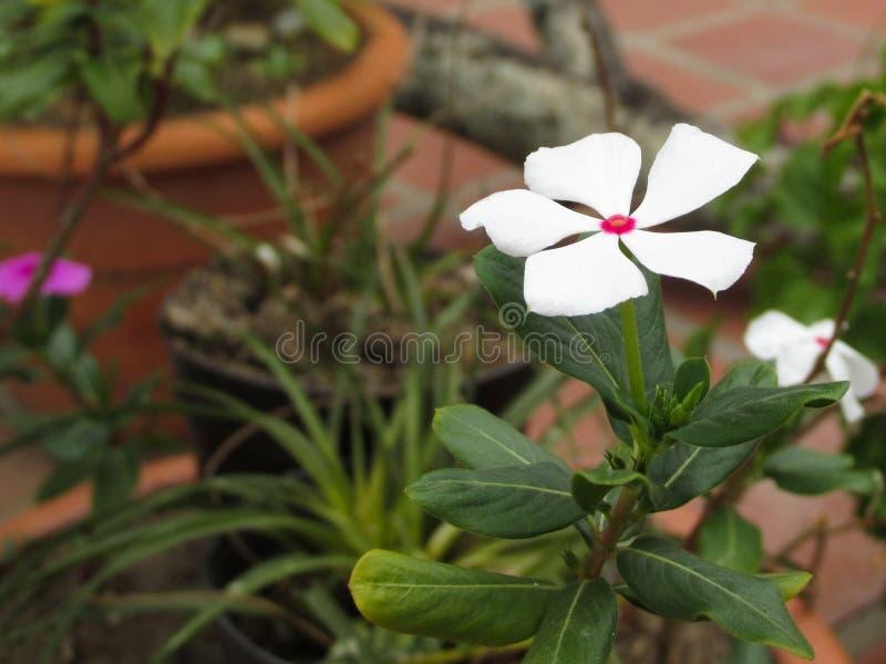 Fiore bianco in piccolo giardino fotografia stock libera da diritti