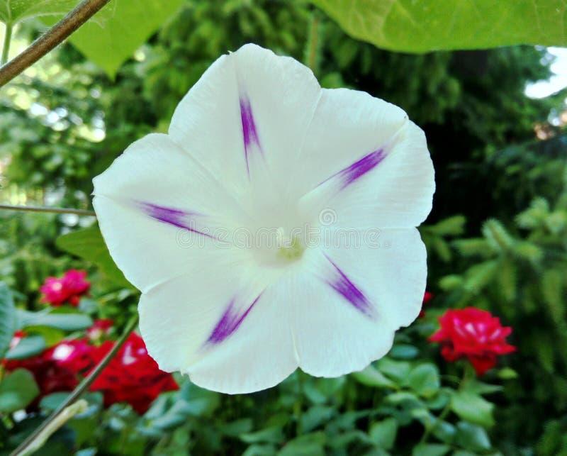 Fiore bianco selvaggio del convolvolo di barriera con l'interno porpora di forma della stella immagini stock libere da diritti