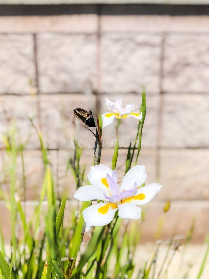 Fiore bianco semplice con un secondo fiore nel fondo fotografia stock libera da diritti