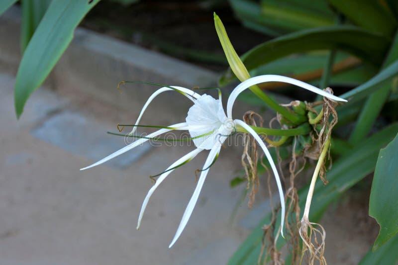 Fiore bianco sottolineato - 6 fotografie stock libere da diritti