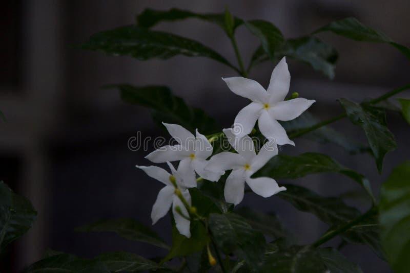 Fiore bianco sottolineato - 5 immagine stock libera da diritti