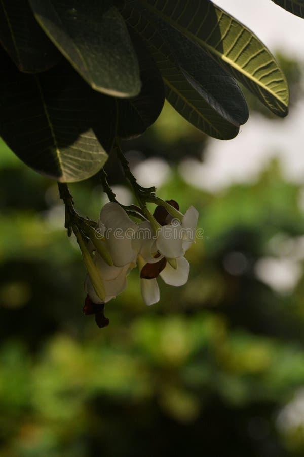 Fiore bianco sottolineato - 4 immagini stock libere da diritti