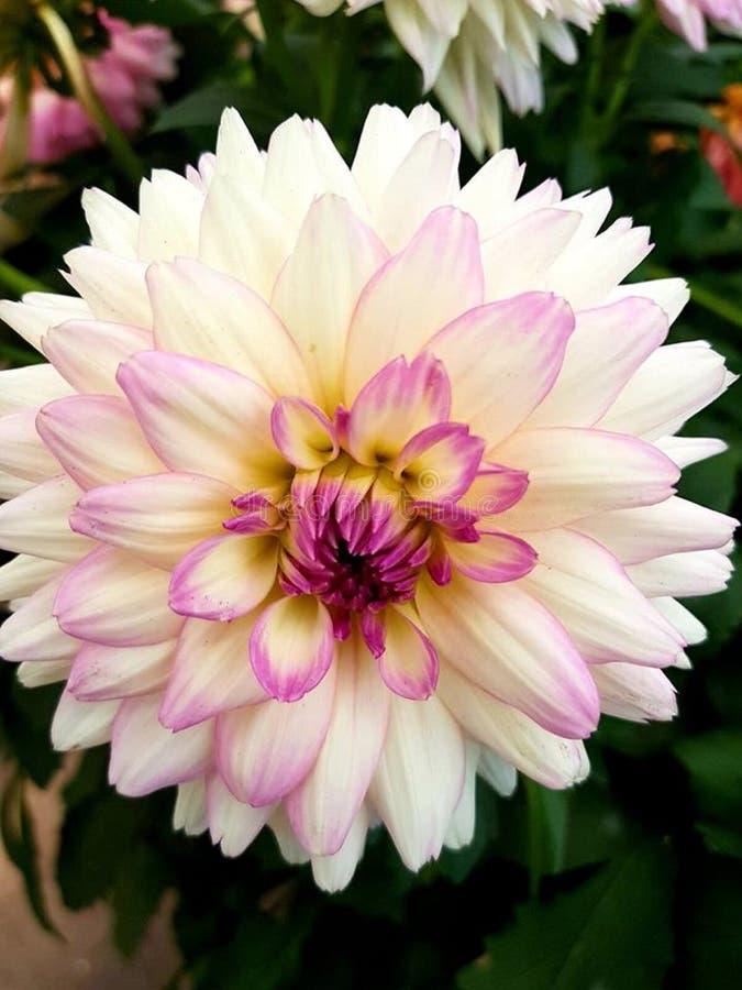 Fiore bianco stupefacente bello di estate fotografie stock