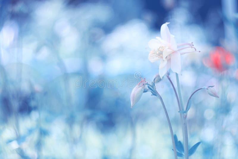 Fiore bianco su fondo blu con spazio per testo Bello Aquilegia fotografie stock libere da diritti