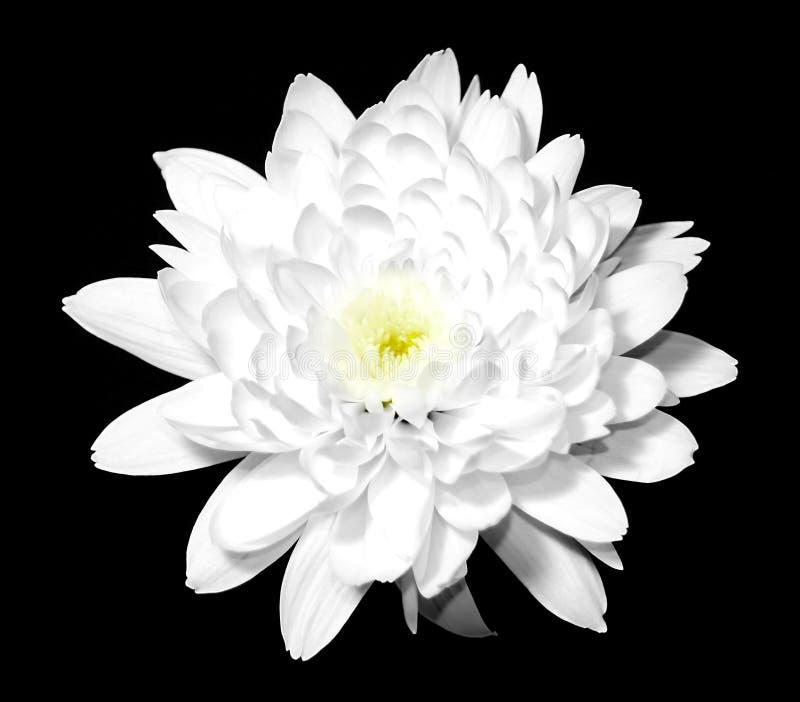 Fiore bianco sul nero fotografia stock libera da diritti
