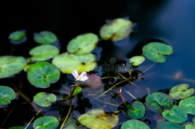 Fiore bianco sveglio di Nymphoides indica, che è una pianta acquatica nel Menyanthaceae, fiocco di neve dell'acqua immagini stock libere da diritti