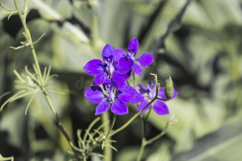 Fiore blu con le antere gialle immagine stock libera da diritti