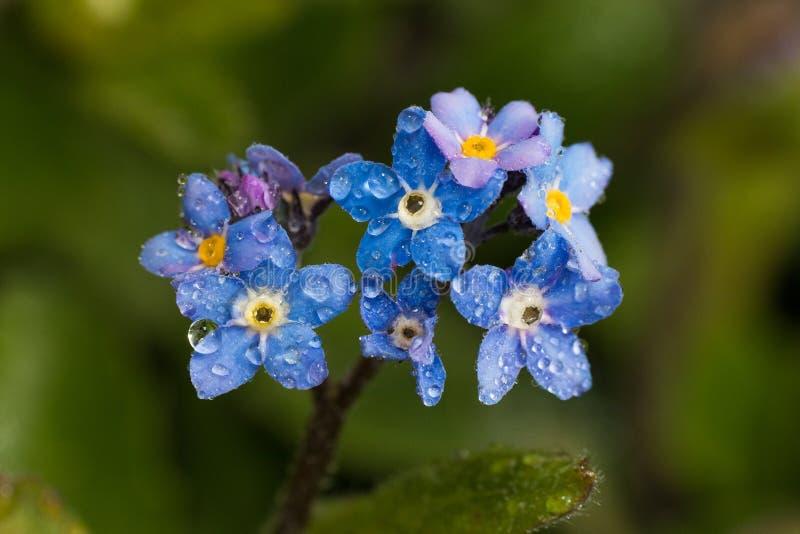 Fiore blu con le gocce di acqua fotografia stock