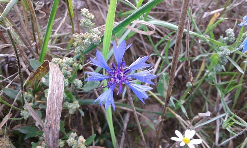 Fiore blu del cereale fotografie stock