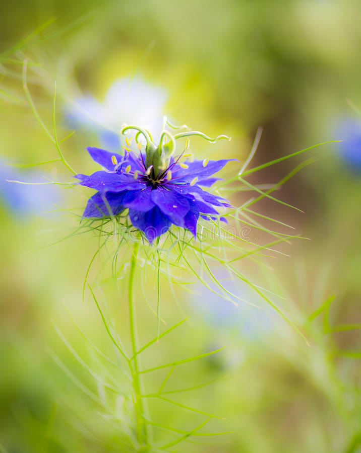 Fiore blu del fiore di nigella immagini stock