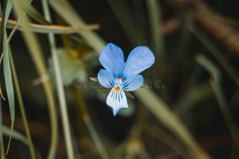 fiore blu del germanica dell'iride fotografie stock