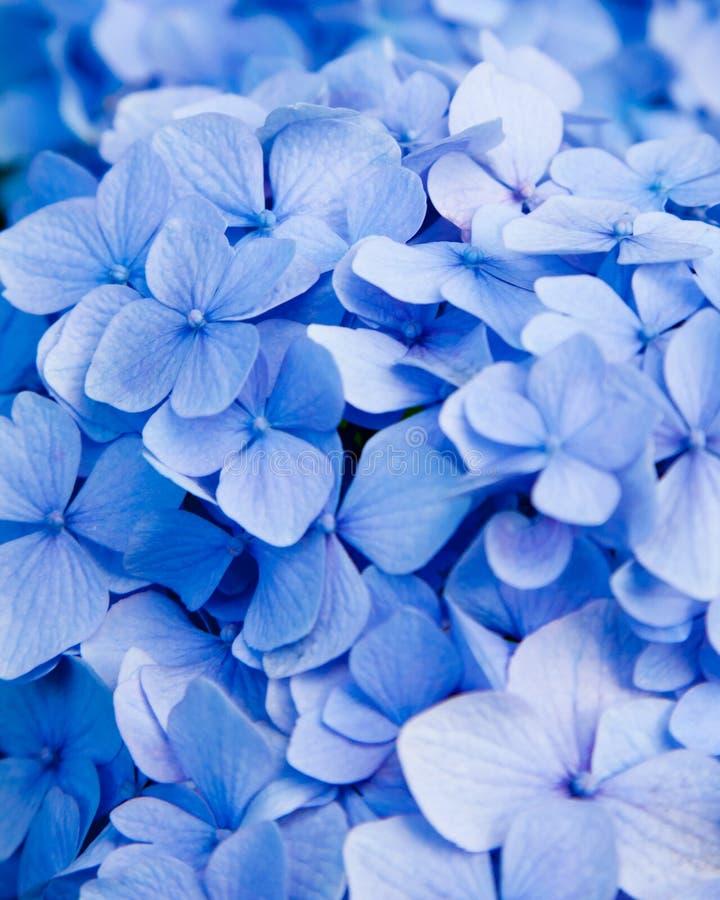 Fiore blu del hydrangea fotografia stock