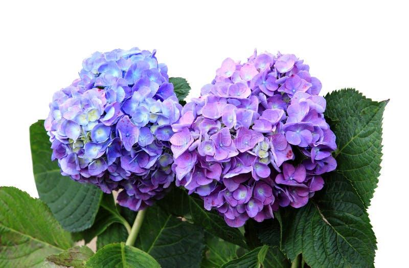 Fiore blu del Hydrangea isolato su priorità bassa bianca immagini stock libere da diritti