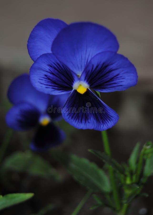 Fiore blu del pansy immagine stock libera da diritti