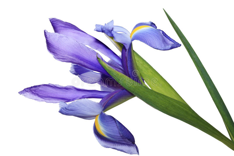 Fiore blu dell'iride fotografia stock