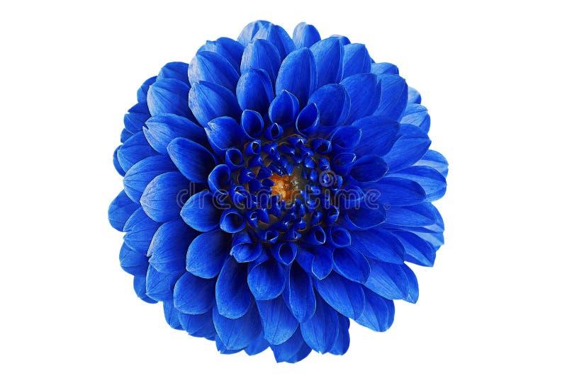 Fiore blu della dalia su un fondo bianco in isolamento per i progettisti fotografia stock