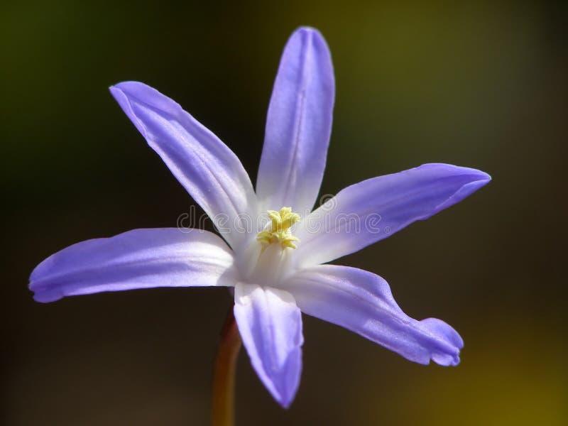 Fiore blu della sorgente fotografia stock libera da diritti