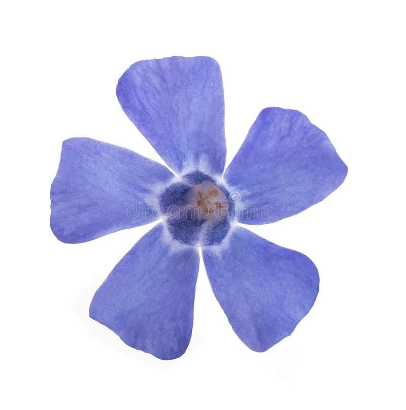Fiore blu della vinca fotografia stock libera da diritti