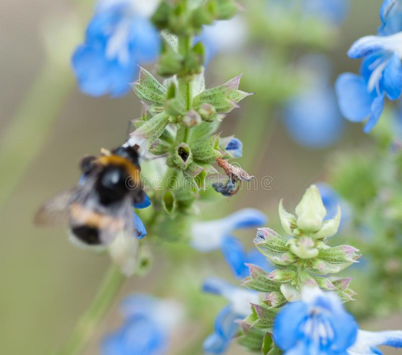 fiore blu di estate in un giardino nella luce del giorno di brittany immagine stock libera da diritti