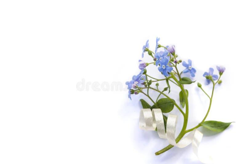 Fiore blu di myosotis isolato su fondo bianco fotografia stock