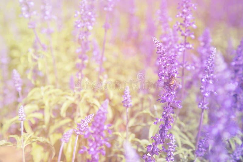 Fiore blu di Salvia fotografia stock libera da diritti