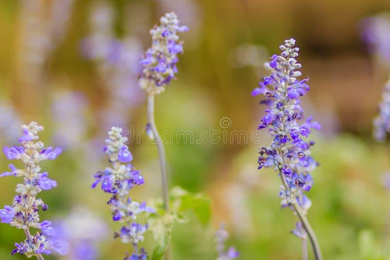 Fiore blu di salvia (farinacea Benth di salvia) o Florida farinosa della salvia del cappuccio immagine stock libera da diritti