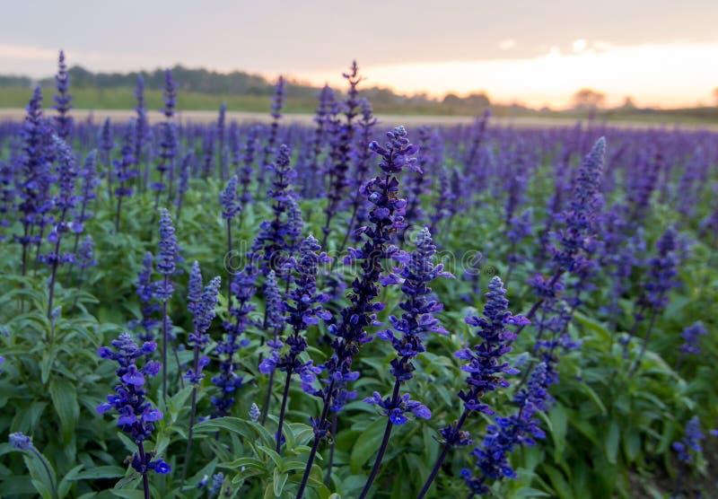 Fiore blu di salvia, fotografia stock libera da diritti