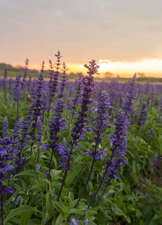 Fiore blu di salvia, immagini stock