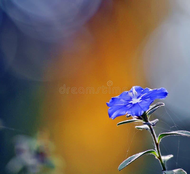 Fiore blu di stordimento su fondo vago immagine stock