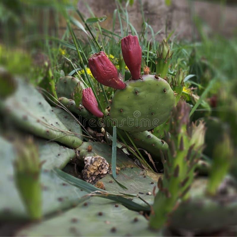 Fiore chiuso sul cactus Attesa del suo tempo immagini stock libere da diritti