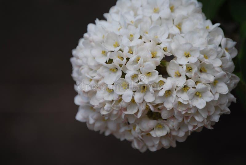 Fiore cinese della palla di neve fotografie stock libere da diritti