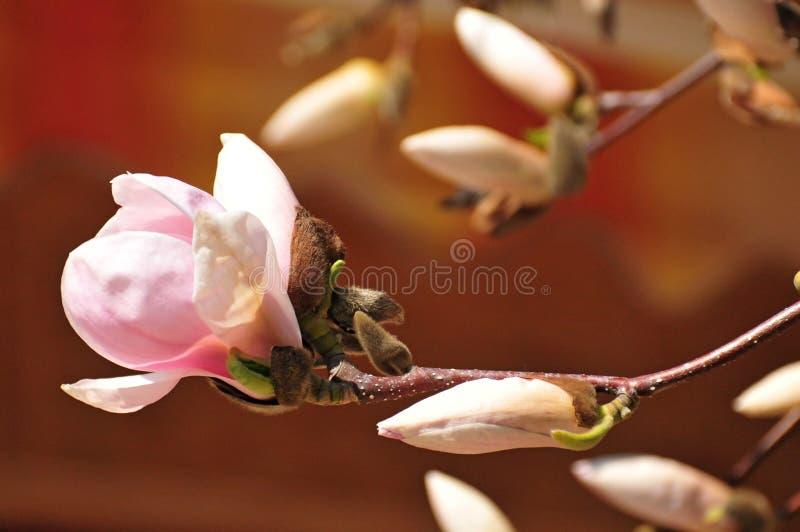 Fiore Colourful della molla in Ungheria fotografia stock