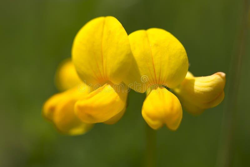 Fiore comune del trifoglio del piede degli uccelli fotografia stock