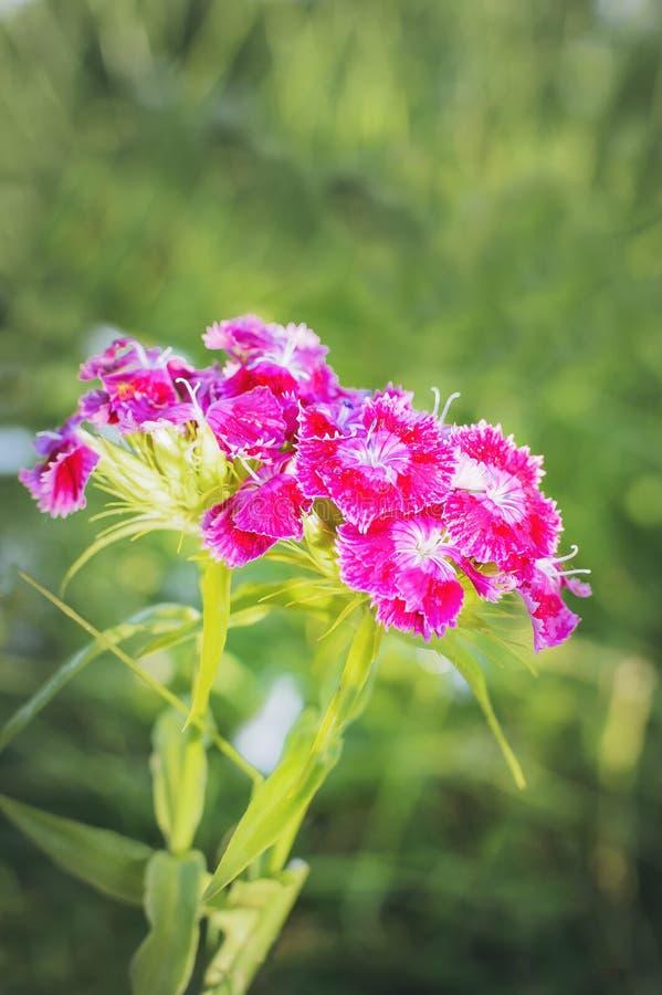 Fiore con i fiori di fioritura del garofano Fotographia verticale fotografia stock