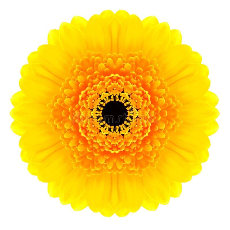 Fiore concentrico giallo della gerbera isolato su bianco. Mandala Design fotografia stock