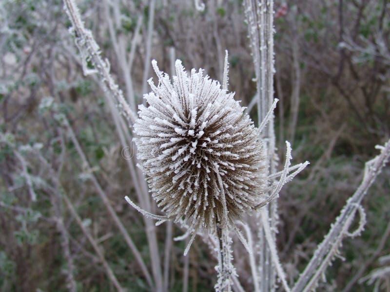 Fiore congelato immagini stock libere da diritti