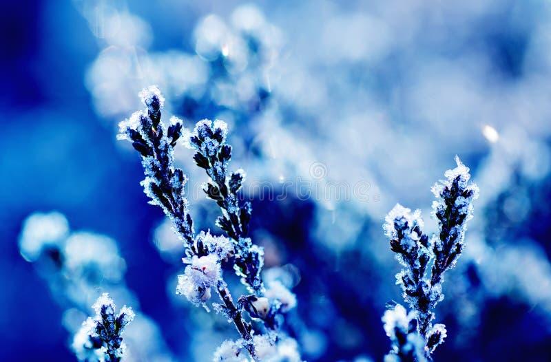 Fiore congelato dell'erica fotografia stock