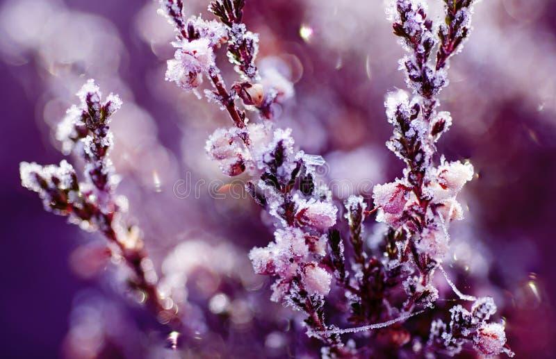 Fiore congelato dell'erica fotografie stock